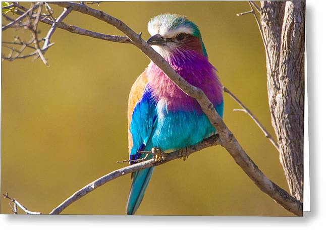 Lilac Breasted Roller Greeting Card by Craig Brown