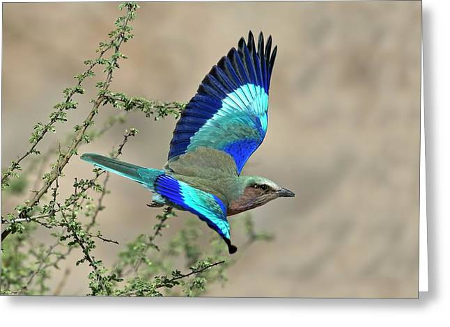 Lilac-breasted Roller In Flight Greeting Card by Tony Camacho