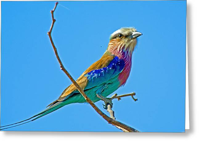 Greeting Card featuring the photograph Lilac-breasted Roller In Kruger National Park-south Africa by Ruth Hager