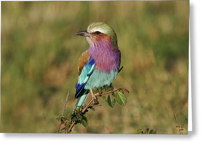 Lilac-breasted Roller, Maasai Mara Greeting Card by Adam Jones