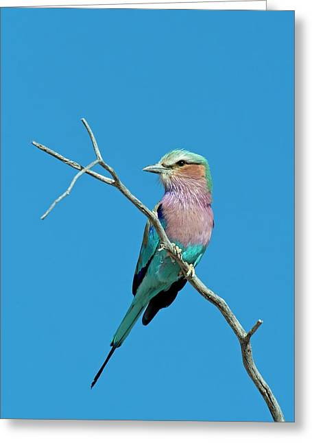Lilac-breasted Roller Greeting Card by Tony Camacho