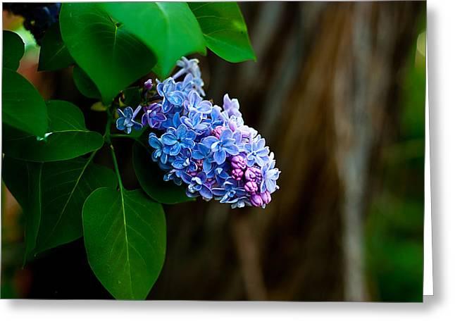 Lilac Greeting Card by John Crowe