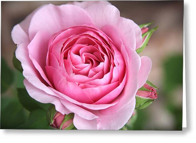 Lilac Rose Greeting Card by CarolLMiller Photography