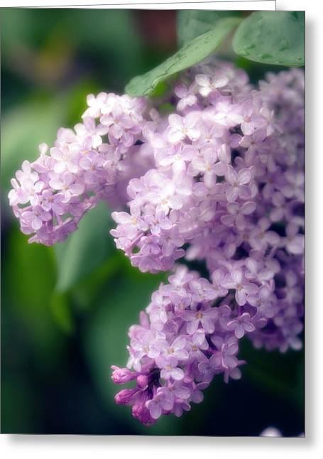 Lilac (syringa Hybrid) Greeting Card by Maria Mosolova/science Photo Library