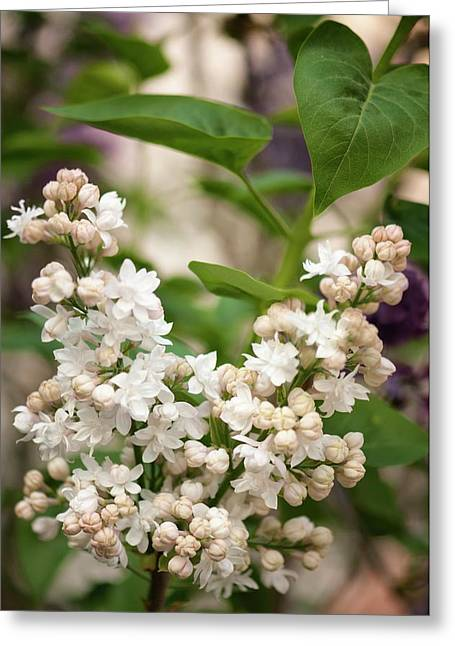 Lilac (syringa Vulgaris 'beauty Of Moscow') In Flower Greeting Card by Maria Mosolova/science Photo Library