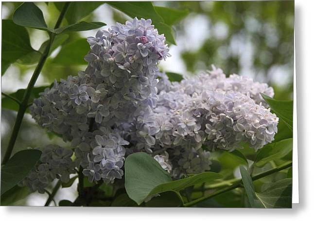 Greeting Card featuring the photograph Lilac by Vadim Levin