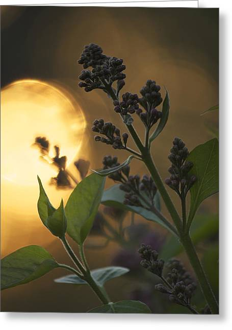 Lilacs At Sunset Greeting Card by Penny Meyers
