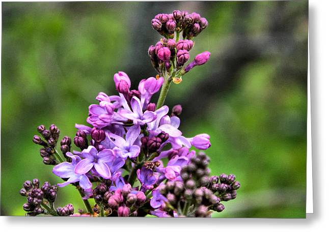Lilacs Greeting Card by Tim Buisman