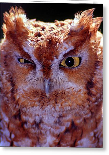 Screech Greeting Card by Skip Willits
