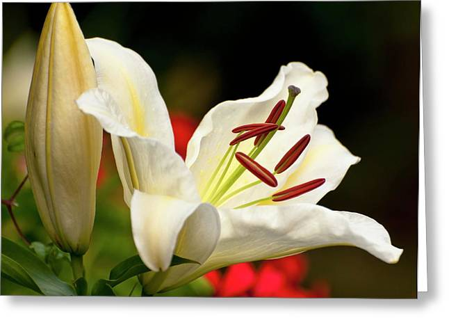 Lilium 'amazing' Greeting Card by Ian Gowland