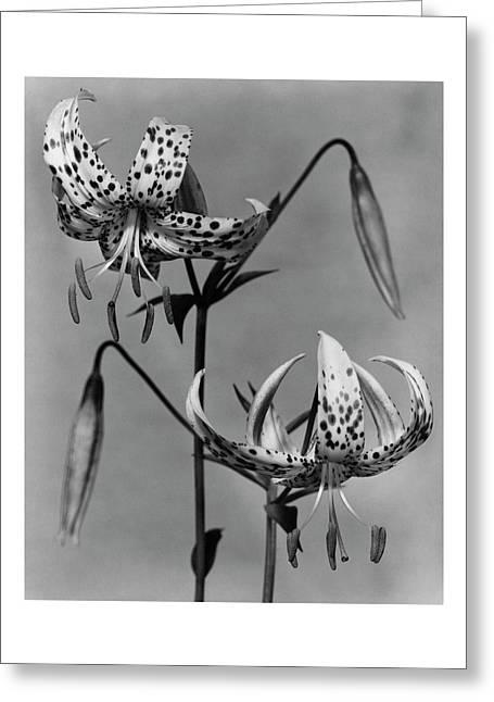 Lilium Bellingham Greeting Card