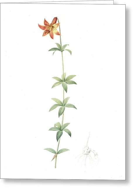 Lilium Penduliflorum, Lilium Canadense Lis à Fleur Greeting Card