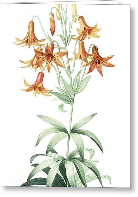 Lilium Penduliflorum, Lis à Fleurs Pendantes Greeting Card