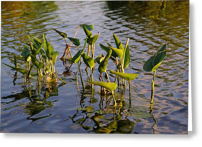Lillies In Evening Glory Greeting Card