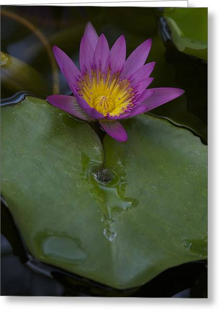 Lilly And Lotus Greeting Card by Brian Governale