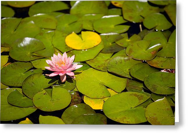 Lilly Pond Pink Greeting Card