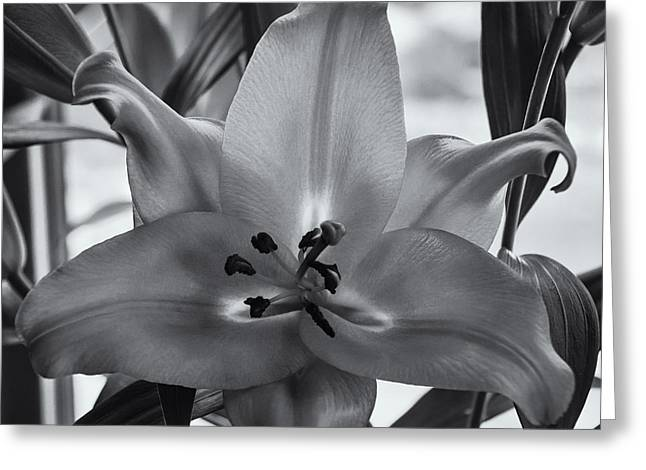 Lily 16 Greeting Card