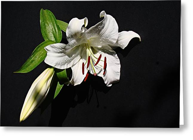 Lily At Daybreak Greeting Card by Nick Kloepping