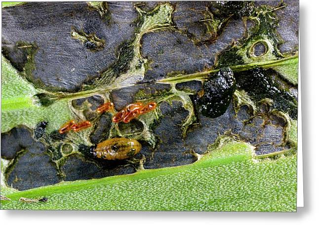 Lily Beetle Larvae On A Lily Leaf Greeting Card by Dr Jeremy Burgess
