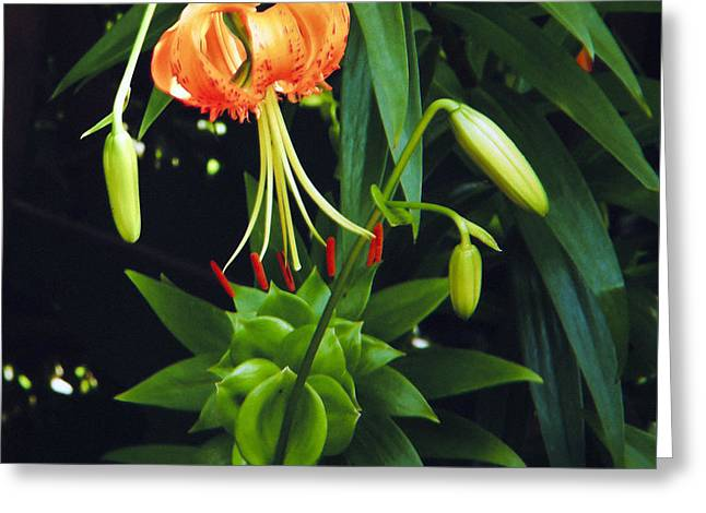 Greeting Card featuring the photograph Lily Bloom by Debra Crank