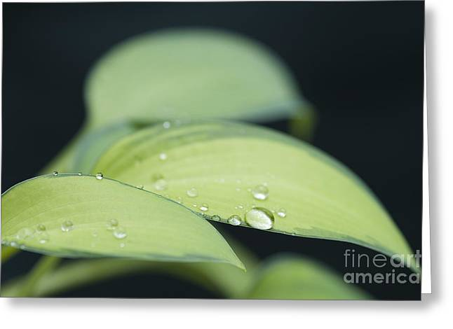 Lily Close Up With Dew Droplets Greeting Card by Jim Corwin