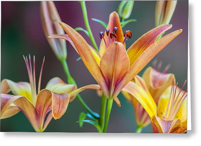 Lily From The Garden Greeting Card by Randy Walton