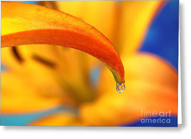 Lily In A Dew Drop Greeting Card by Pattie Calfy