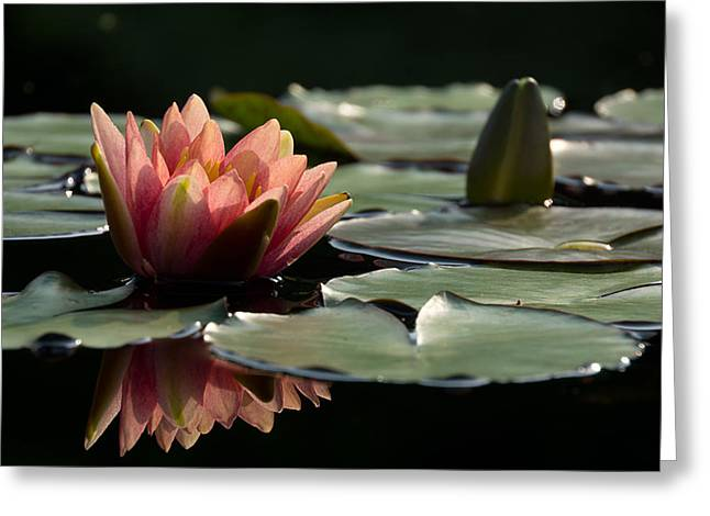Lily In Light Greeting Card