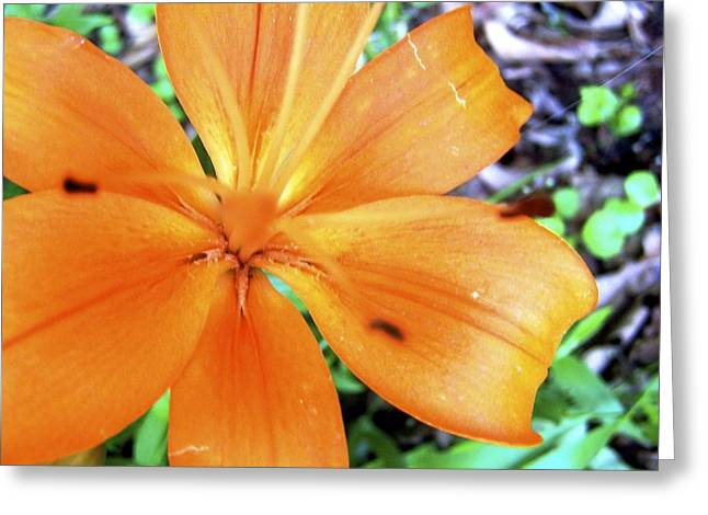 Lily Greeting Card by Kimberly Elliott