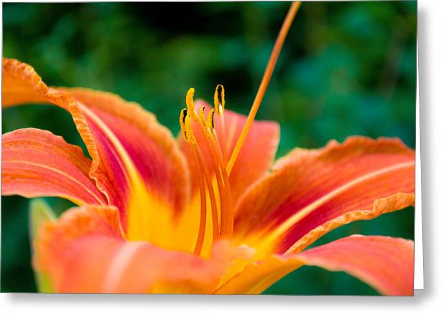 Lily Lies Greeting Card