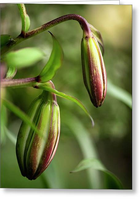 Lily (lilium Sp.) Flower Buds Greeting Card
