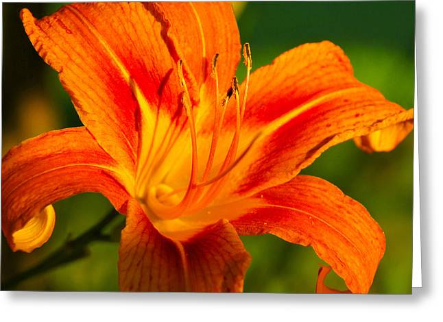 Lily Greeting Card by Linda Segerson