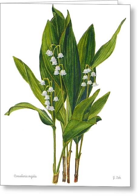 Lily Of The Valley - Convallaria Majalis Greeting Card by Janet  Zeh