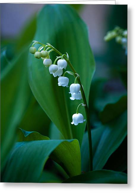 Greeting Card featuring the photograph Lily Of The Valley by Wayne Meyer