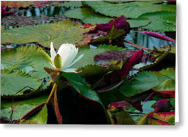 Lily On The Pond Greeting Card by Susan Duda