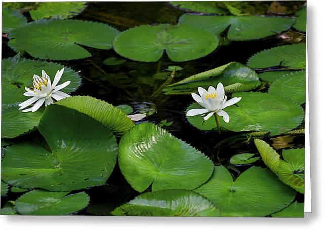 Lily Pads And Blossoms Greeting Card by Rich Franco