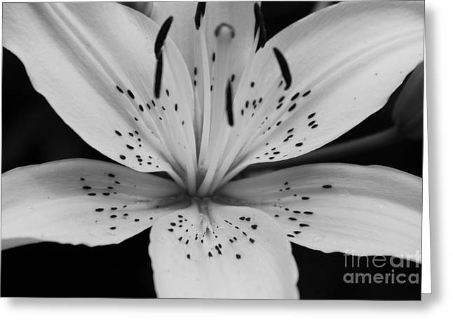 Greeting Card featuring the photograph Lily by Paul Cammarata