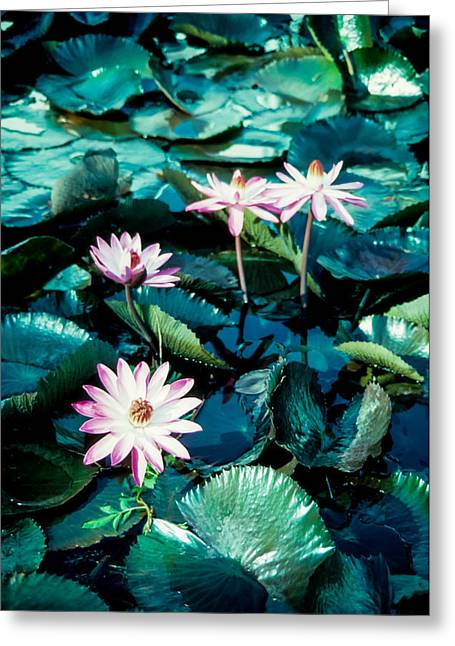 Lily Greeting Card by Randy Sylvia