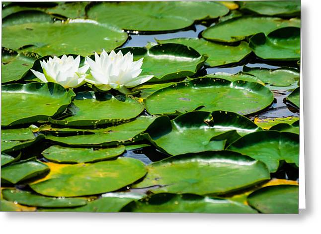 Lily Pads Greeting Card by Alan Marlowe
