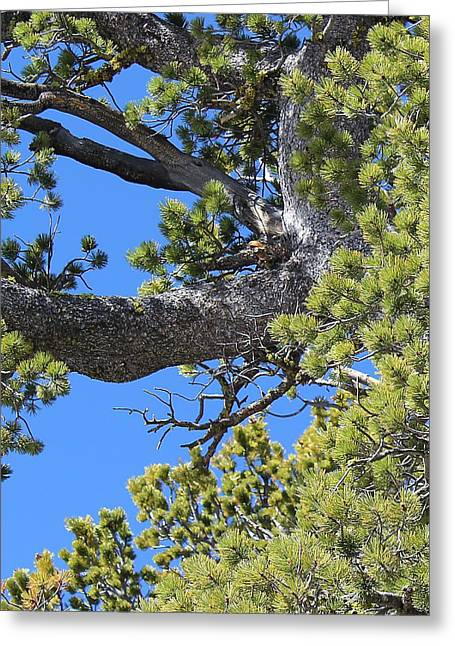 Limber Pine Greeting Card by Mark Eisenbeil