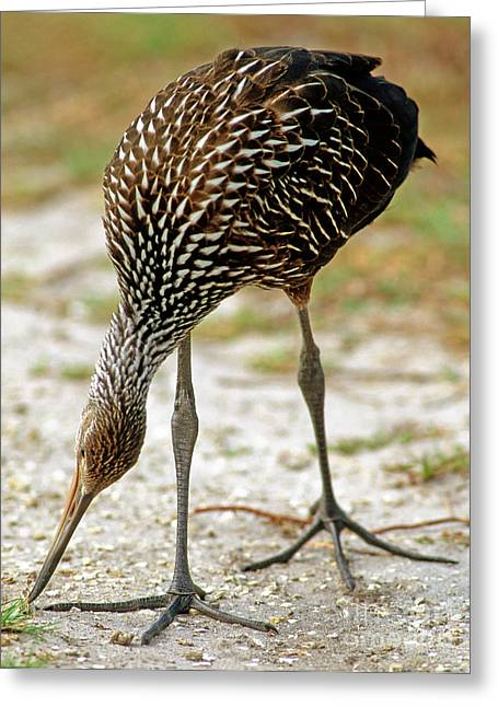 Limpkin Aramus Guarauna Hunting Snails Greeting Card by Millard H. Sharp