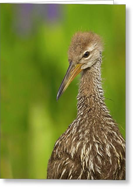 Limpkin Chick, Aramus Guarana, Viera Greeting Card by Maresa Pryor
