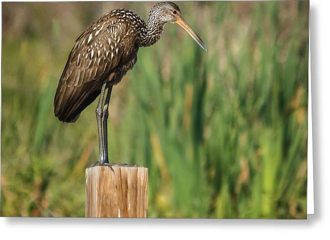 Limpkin Greeting Card