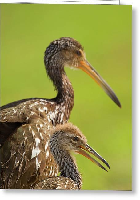 Limpkin With Chick, Aramus Guarana Greeting Card by Maresa Pryor