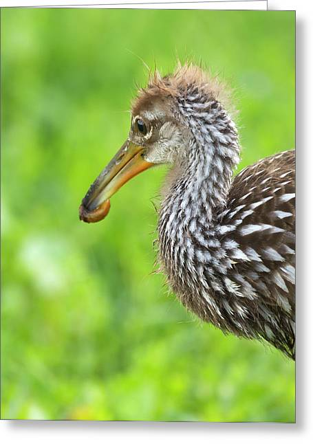 Limpkin With First Apple Snail, Aramus Greeting Card by Maresa Pryor