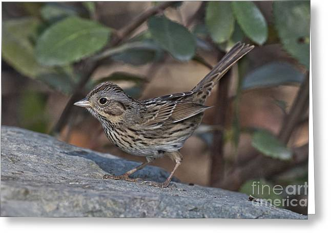 Lincolns Sparrow Greeting Card by Anthony Mercieca
