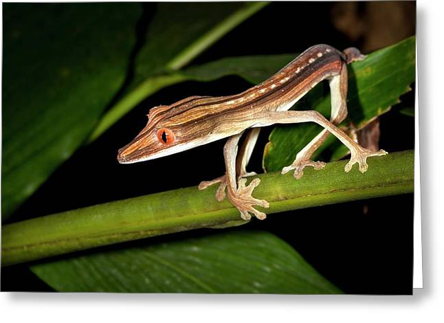 Lined Flat-tail Gecko Greeting Card by Alex Hyde