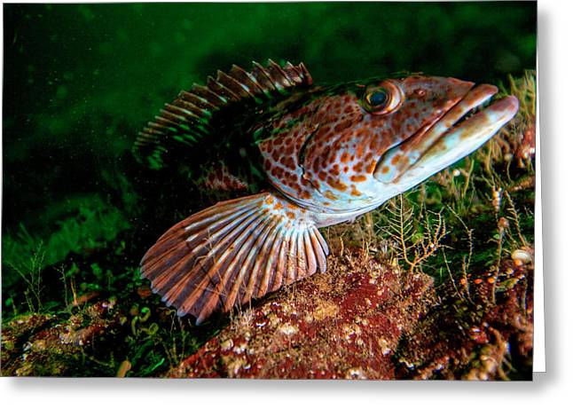 Lingcod (ophiodon Elongatus Greeting Card by James White