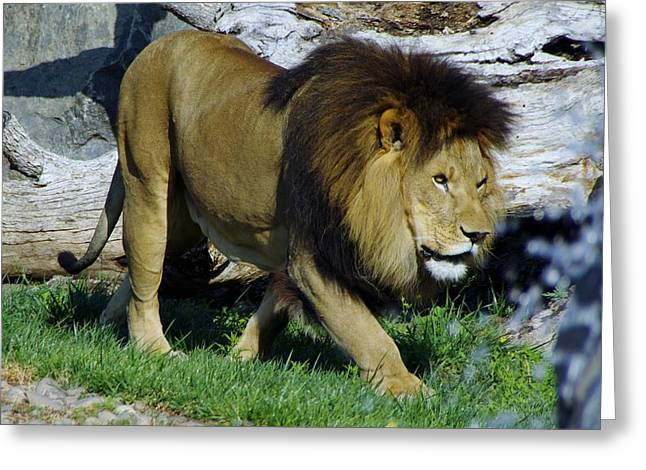 Lion 1 Greeting Card