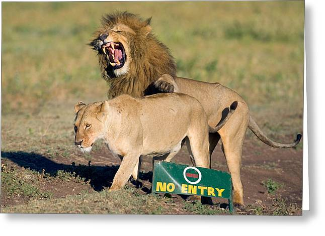 Lion And A Lioness Mating, Ngorongoro Greeting Card by Panoramic Images